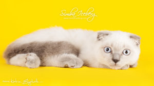 Scottish Fold blue point kitten Camelot of Simba Iceberg (3 months 3 weeks old - 30.04.2013) (1)