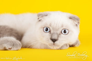 Scottish Fold blue point kitten Camelot of Simba Iceberg (3 months 3 weeks old - 30.04.2013) (2)