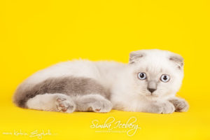 Scottish Fold blue point kitten Camelot of Simba Iceberg (3 months 3 weeks old - 30.04.2013) (3)