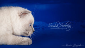 Scottish Fold blue point kitten Camelot of Simba Iceberg (3 months old - 10.04.2013) (1)