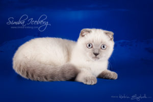 Scottish Fold blue point kitten Camelot of Simba Iceberg (3 months old - 10.04.2013) (2)