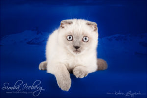 Scottish Fold blue point kitten Camelot of Simba Iceberg (3 months old - 10.04.2013) (3)