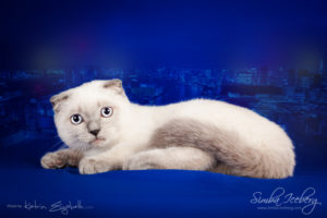 Scottish Fold blue point kitten Camelot of Simba Iceberg (4 months old - 11.05.2013) (1)