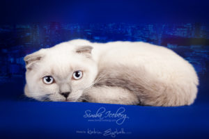 Scottish Fold blue point kitten Camelot of Simba Iceberg (4 months old - 11.05.2013) (2)