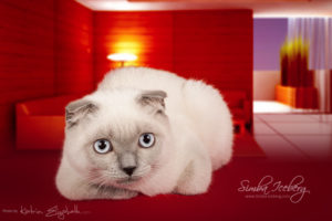 Scottish Fold blue point kitten Camelot of Simba Iceberg (5 months 2 weeks old - 22.06.2013)