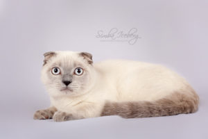 Scottish Fold blue point kitten Camelot of Simba Iceberg (6 months 2 weeks old - 20.07.2013) (1)