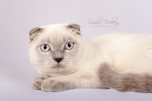 Scottish Fold blue point kitten Camelot of Simba Iceberg (6 months 2 weeks old - 20.07.2013) (2)