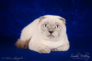 Scottish Fold blue point kitten Camelot of Simba Iceberg (7 months 2 weeks old - 24.08.2013) (1)
