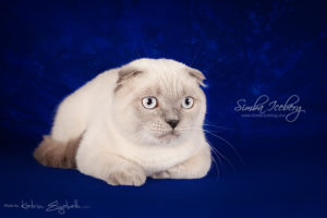 Scottish Fold blue point kitten Camelot of Simba Iceberg (7 months 2 weeks old - 24.08.2013) (2)