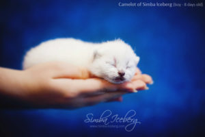 Scottish Fold blue point kitten Camelot of Simba Iceberg (8 days old - 14.01.2013) (1)