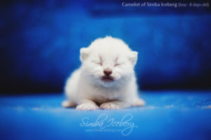 Scottish Fold blue point kitten Camelot of Simba Iceberg (8 days old - 14.01.2013) (3)