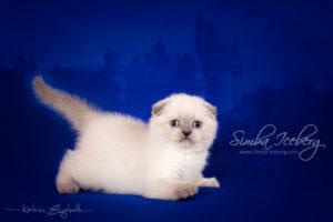 Scottish Fold blue point kitten Cruel Morgana of Simba Iceberg (1 month 2 weeks old - 22.02.2013) (1)