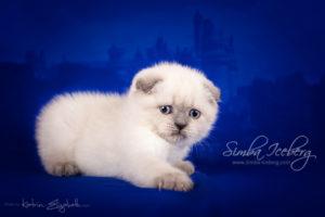 Scottish Fold blue point kitten Cruel Morgana of Simba Iceberg (1 month 2 weeks old - 22.02.2013) (2)