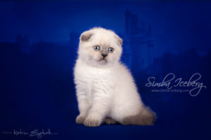 Scottish Fold blue point kitten Cruel Morgana of Simba Iceberg (1 month 2 weeks old - 22.02.2013) (3)