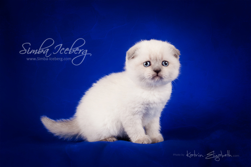 Scottish Fold blue point kitten Cruel Morgana of Simba Iceberg (1 month old - 08.02.2013) (1)