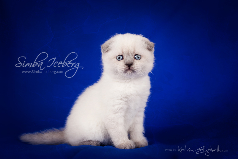 Scottish Fold blue point kitten Cruel Morgana of Simba Iceberg (1 month old - 08.02.2013) (2)