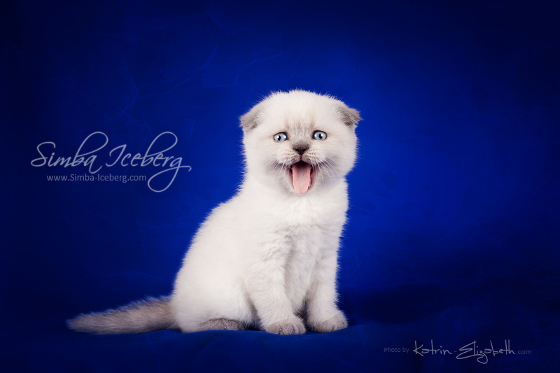 Scottish Fold blue point kitten Cruel Morgana of Simba Iceberg (1 month old - 08.02.2013) (3)