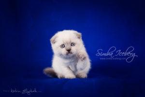 Scottish Fold blue point kitten Cruel Morgana of Simba Iceberg (1 month old - 08.02.2013) (4)