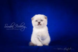 Scottish Fold blue point kitten Cruel Morgana of Simba Iceberg (1 month old - 08.02.2013) (5)