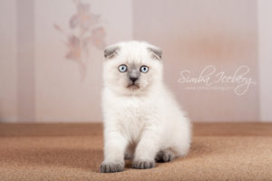 Scottish Fold blue point kitten Cruel Morgana of Simba Iceberg (2 months 1 week old - 16.03.2013) (1)