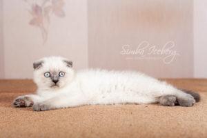 Scottish Fold blue point kitten Cruel Morgana of Simba Iceberg (2 months 1 week old - 16.03.2013) (2)