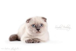Scottish Fold blue point kitten Cruel Morgana of Simba Iceberg (2 months 3 weeks old - 30.03.2013)