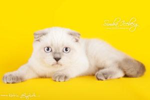 Scottish Fold blue point kitten Cruel Morgana of Simba Iceberg (3 months 3 weeks old - 30.04.2013) (1)