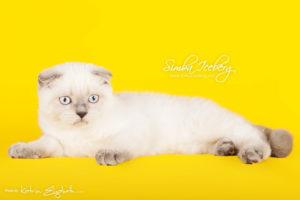 Scottish Fold blue point kitten Cruel Morgana of Simba Iceberg (3 months 3 weeks old - 30.04.2013) (2)