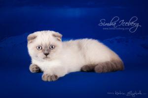 Scottish Fold blue point kitten Cruel Morgana of Simba Iceberg (3 months old - 10.04.2013) (1)
