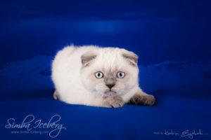 Scottish Fold blue point kitten Cruel Morgana of Simba Iceberg (3 months old - 10.04.2013) (2)