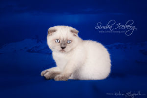 Scottish Fold blue point kitten Cruel Morgana of Simba Iceberg (3 months old - 10.04.2013) (3)