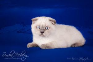 Scottish Fold blue point kitten Cruel Morgana of Simba Iceberg (3 months old - 10.04.2013) (4)