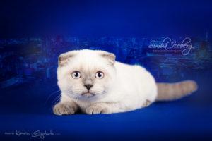 Scottish Fold blue point kitten Cruel Morgana of Simba Iceberg (4 months old - 11.05.2013) (1)