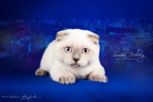 Scottish Fold blue point kitten Cruel Morgana of Simba Iceberg (4 months old - 11.05.2013) (2)