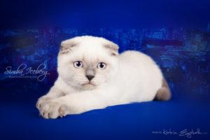 Scottish Fold blue point kitten Cruel Morgana of Simba Iceberg (4 months old - 11.05.2013) (3)