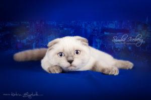 Scottish Fold blue point kitten Cruel Morgana of Simba Iceberg (4 months old - 11.05.2013) (4)