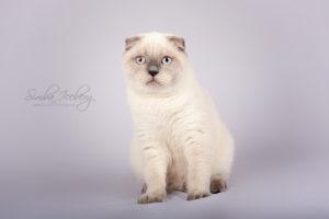 Scottish Fold blue point kitten Cruel Morgana of Simba Iceberg (6 months 2 weeks old - 20.07.2013) (3)