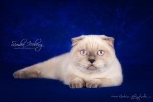 Scottish Fold blue point kitten Cruel Morgana of Simba Iceberg (7 months 2 weeks old - 24.08.2013) (1)