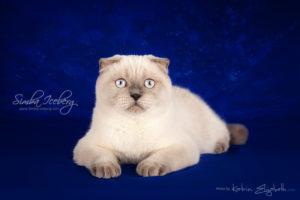 Scottish Fold blue point kitten Cruel Morgana of Simba Iceberg (7 months 2 weeks old - 24.08.2013) (2)