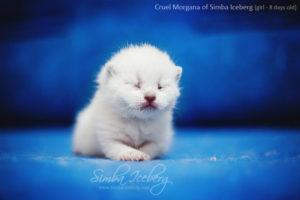 Scottish Fold blue point kitten Cruel Morgana of Simba Iceberg (8 days old - 14.01.2013) (1)