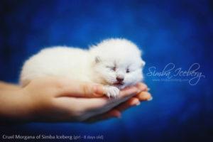 Scottish Fold blue point kitten Cruel Morgana of Simba Iceberg (8 days old - 14.01.2013) (2)