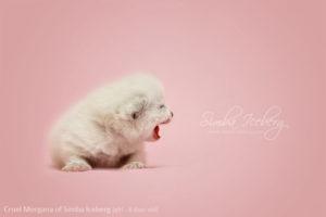 Scottish Fold blue point kitten Cruel Morgana of Simba Iceberg (8 days old - 14.01.2013) (3)