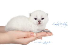 Scottish Fold blue point kitten Simba Iceberg Flo (15 days old - 21.10.2015) (1)
