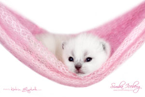 Scottish Fold blue point kitten Simba Iceberg Flo (15 days old - 21.10.2015) (6)