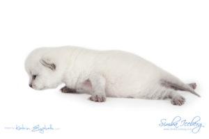 Scottish Fold blue point kitten Simba Iceberg Flo (15 days old - 21.10.2015) (8)