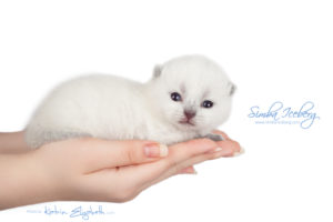 Scottish Fold blue point kitten Simba Iceberg Flo (15 days old - 21.10.2015) (9)