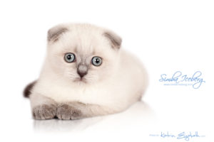 Scottish Fold blue point kitten Simba Iceberg Flo (2 months 1 week old - 16.12.2015) (1)