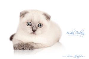 Scottish Fold blue point kitten Simba Iceberg Flo (2 months 1 week old - 16.12.2015) (1)