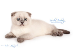Scottish Fold blue point kitten Simba Iceberg Flo (2 months 1 week old - 16.12.2015) (2)