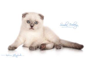 Scottish Fold blue point kitten Simba Iceberg Flo (2 months 1 week old - 16.12.2015) (3)